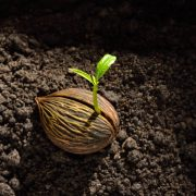 A large seed on brown earth with a shoot sprouting out from it growing towards the sun