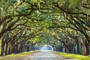 Two rows of oak trees on either side of a straight road with branches creating a beautiful arch along the length of the road